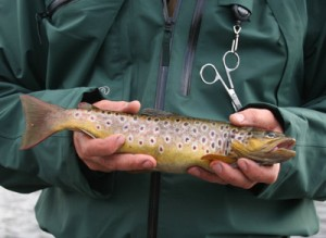 Roundwood Trout