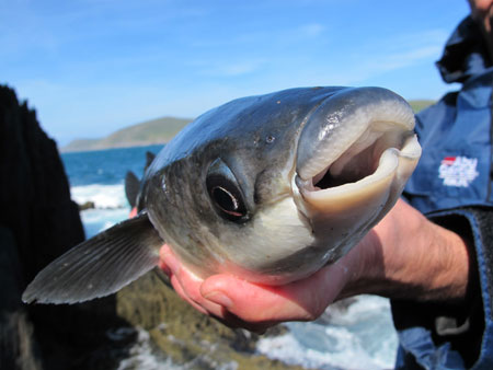 The unusually shaped mouth of a grey mullet.