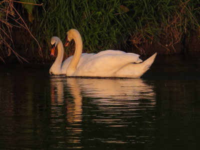 Slaney Swans