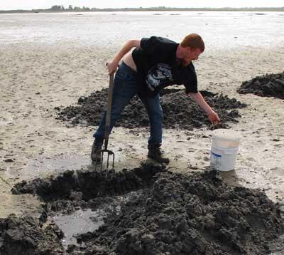 Digging lugworm, Burrow shore, Rosslare Strand