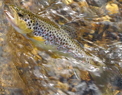 Wild brown trout tempted by a partridge and orange, River Slaney, Glen of Imaal, Co. Wicklow, Ireland.