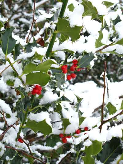 Holly berries, Carrig Wood, Ballythomas, Co. Wexford, Ireland.