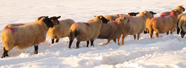 Hungry Sheep, Ballythomas, Co. Wexford.