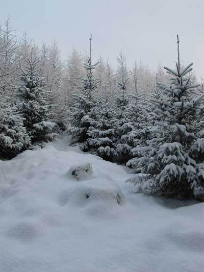 Snow covered pine trees, Carrig Wood, Ballythomas, Co. Wexford.