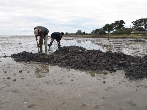 Bait digging on the burrow shore, Rosslare, Co. Wexford, Ireland.