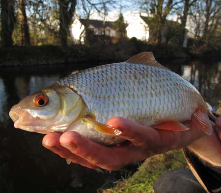 A beautiful red finned River Barrow roach.