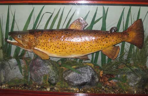 A 6.lb 6.oz wild brown trout from the Avonmore River, caught by Christopher Stacey around 1993.