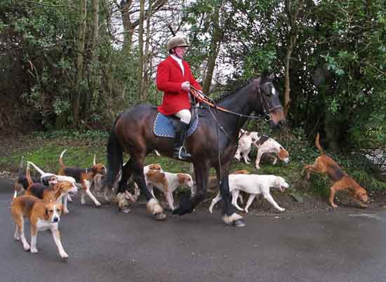 Huntsman David Nolan leading the hounds, Shillelagh, Co. Wicklow.