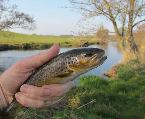 River Derreen, Co. Carlow, Ireland, trout tempted by a partridge and orange.