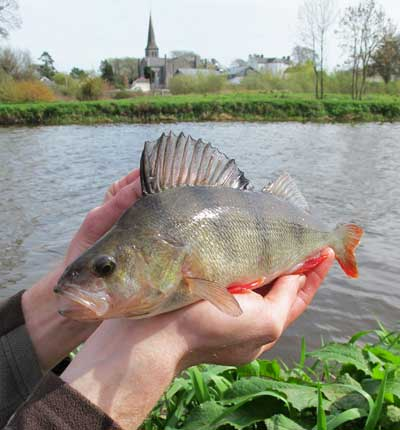 A cracking perch, River Barrow, Athy, Co. Kildare.