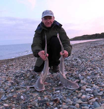 A brace of Wicklow smooth hounds, one to lug and the other on crab.