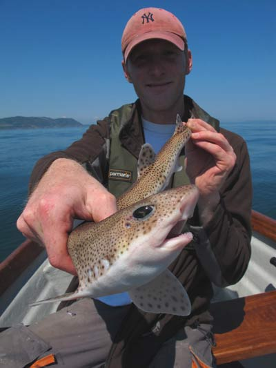 Dogfish can be a real pest while tope fishing, munching through mackerel flappers with abandon.