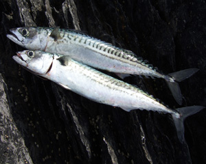 A brace of summer mackerel.