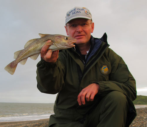 A small codling from an Irish east coast beach.