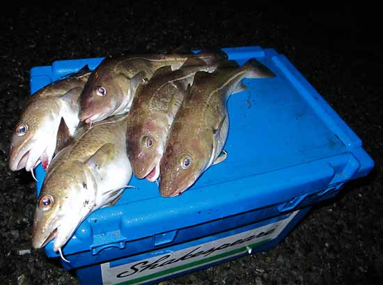 Five Waterford estuary codling from an evening December tide.