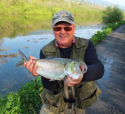 Specimen shad from St Mullins, Co. Carlow.