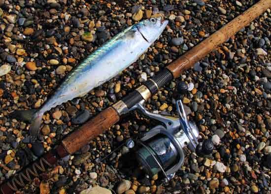 Mackerel caught lure fishing off Kilcoole beach, Co. Wicklow.