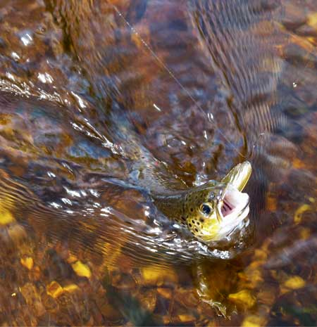 A River Derreen trout fooled by a partridge and orange.