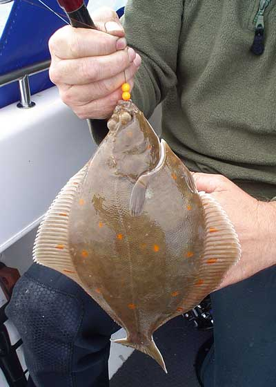 Boat caught plaice.