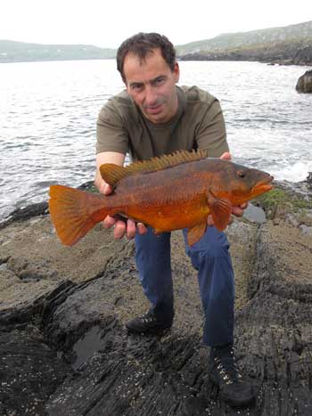 A tropical coloured ballan wrasse from West Cork, Ireland.