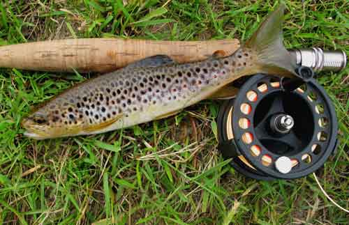 A small well marked Wicklow mountain trout.