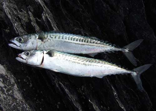 Brace of mackerel.