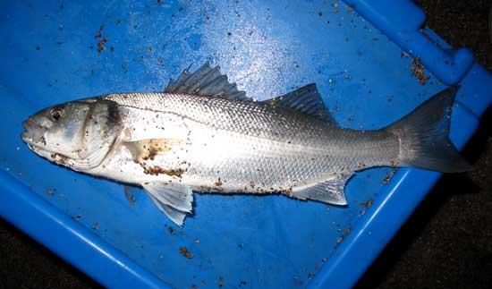 Sea fishing in Ireland, School bass.