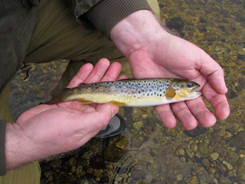 A little beauty, still thin after spawning, this trout will plump up over the coming weeks.