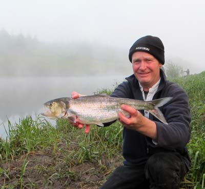 A fine big twaite shad from the River Barrow, Co. Carlow, Ireland.