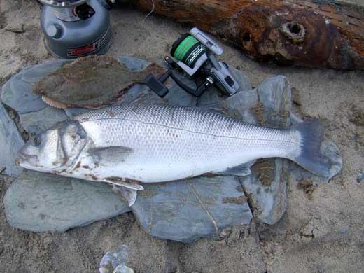 A fine shore caught six pound Irish bass.