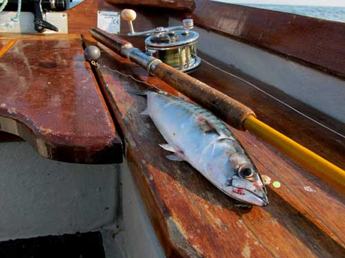 A solitary summer mackerel the resultant of over fishing circa 2013.