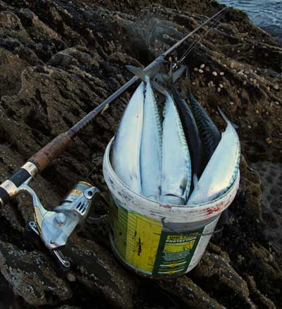 A bucket of mackerel from a West Cork mark.