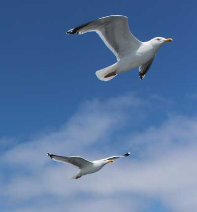 Seagulls off Kilmore Quay, Co. Wexford, Ireland.