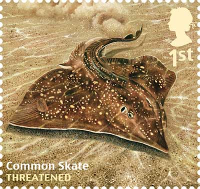"The once ""common skate"" now a rare catch by both anglers and commercial fishermen."
