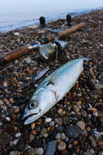 A solitary mackerel for a grateful angler.