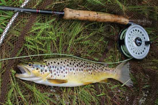 Wild brown trout from the River Barrow, Co. Carlow, Ireland.
