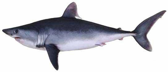 Porbeagle shark courtesy of Google Images.